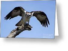 Osprey Power Greeting Card