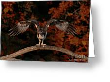 Osprey Ready For Take Off Greeting Card