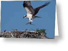 Osprey Returning Home Greeting Card