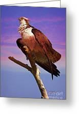 Osprey Solo Greeting Card