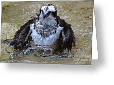Osprey Splashing In Water Greeting Card
