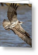 Osprey Take-out Greeting Card
