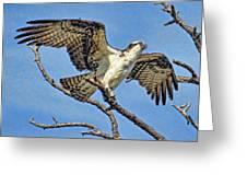 Osprey Wing Stretch Greeting Card