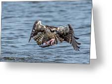 Osprey With Catch 9108 Greeting Card
