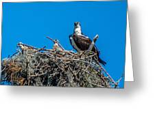 Osprey With Chicks Greeting Card