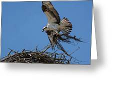 Osprey With Nesting Material 031620161567 Greeting Card
