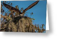 Osprey Working On Nest Greeting Card