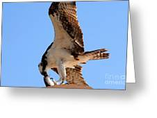 Osprey's Catch Greeting Card
