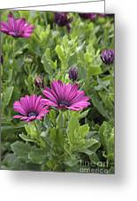Osteospermum Flowers Greeting Card