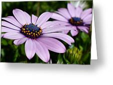 Osteospermum 'margarita Lilac' Greeting Card