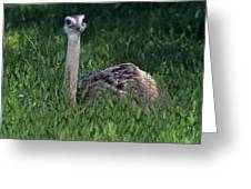 Ostrich Chick Greeting Card