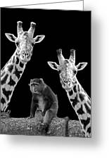 Our Wise Little Friend - Monkey And Giraffes In Black And White Greeting Card
