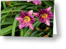 Purple Stella Doro Day Lily Greeting Card