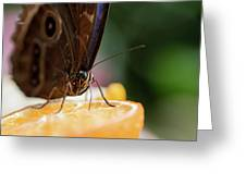 Owl Butterfly Feeding On An Orange Greeting Card