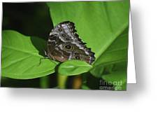 Owl Butterfly With Fantastic Distinctive Eyespots  Greeting Card