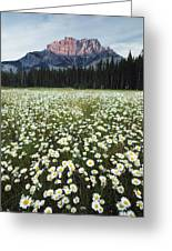 Ox-eyed Daisies And Cascade Mountain Greeting Card