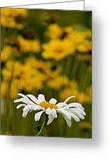 Ox Eyed Daisy 2 Greeting Card