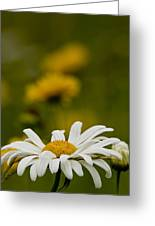 Ox Eyed Daisy Greeting Card