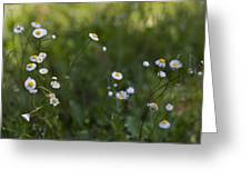 Oxeye Daisies Greeting Card