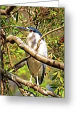 P2024983 Black Crowned Night Heron Greeting Card