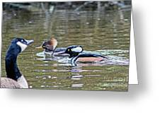 Pa And Ma Hooded Mergansers Greeting Card