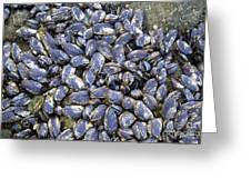 Pacific Blue Mussels Greeting Card