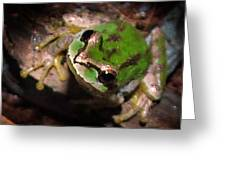 Pacific Tree Frog Greeting Card by Nick Gustafson