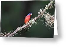 Painted Bunting Curiosity Greeting Card