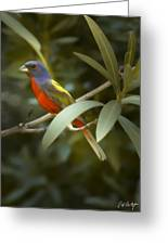 Painted Bunting Male Greeting Card