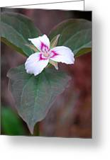 Painted Trillium Greeting Card
