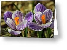 Pair Of Blooming Crocuses Greeting Card