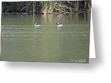 Pair Of Bufflehead Ducks  Greeting Card
