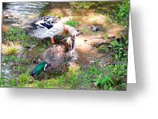 Pair Of Mallard Duck 4 Greeting Card