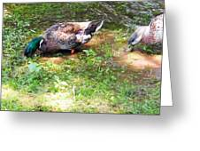 Pair Of Mallard Duck 8 Greeting Card