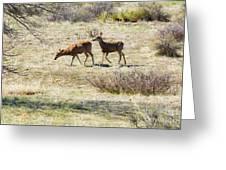 Pair Of Mule Deer Grazing At Chatfield Greeting Card