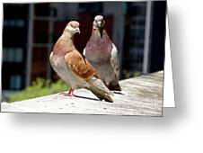 Pair Of Pigeons Greeting Card