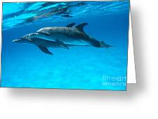 Pair Of Spotted Dolphins Greeting Card