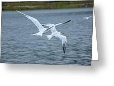 Pair Of Terns Greeting Card