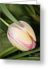 Pale Yellow And Pink Tulip Greeting Card