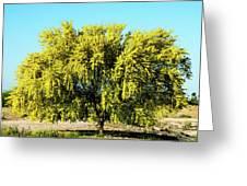 Palo Verde Greeting Card