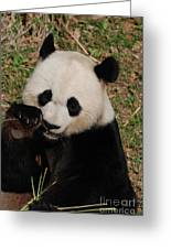 Panda Bear Eating Some Shoots Of Bamboo Greeting Card