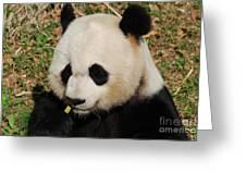 Panda Bear Eating Some Yummy Bamboo Shoots Greeting Card