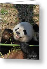 Panda Bear Laying On His Back And Eating Bamboo Greeting Card