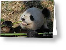 Panda Bear Showing His Teeth As He Munches On Bamboo Greeting Card