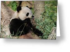Panda Bear Smelling His Bamboo Before Eating It Greeting Card