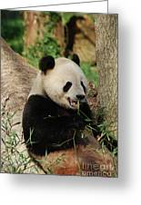 Panda Bear With Teeth Showing While He Was Eating Bamboo Greeting Card