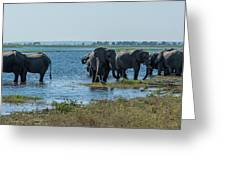 Panorama Of Elephant Herd Drinking From River Greeting Card