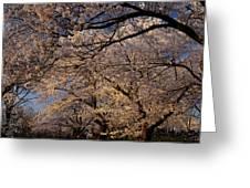 Panorama Of Forest Of Sakura Japanese Flowering Cherry Trees Wit Greeting Card