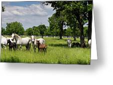 Panorama Of White Lipizzaner Mare Horses With Dark Foals Grazing Greeting Card