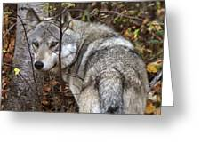 Panoramic Gray Wolf Yukon Greeting Card